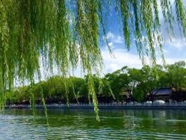 小学生优秀作文:美丽的柳树
