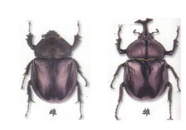 风靡世界的宠物昆虫——独角仙